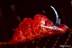 nudibranquios-la-herradura