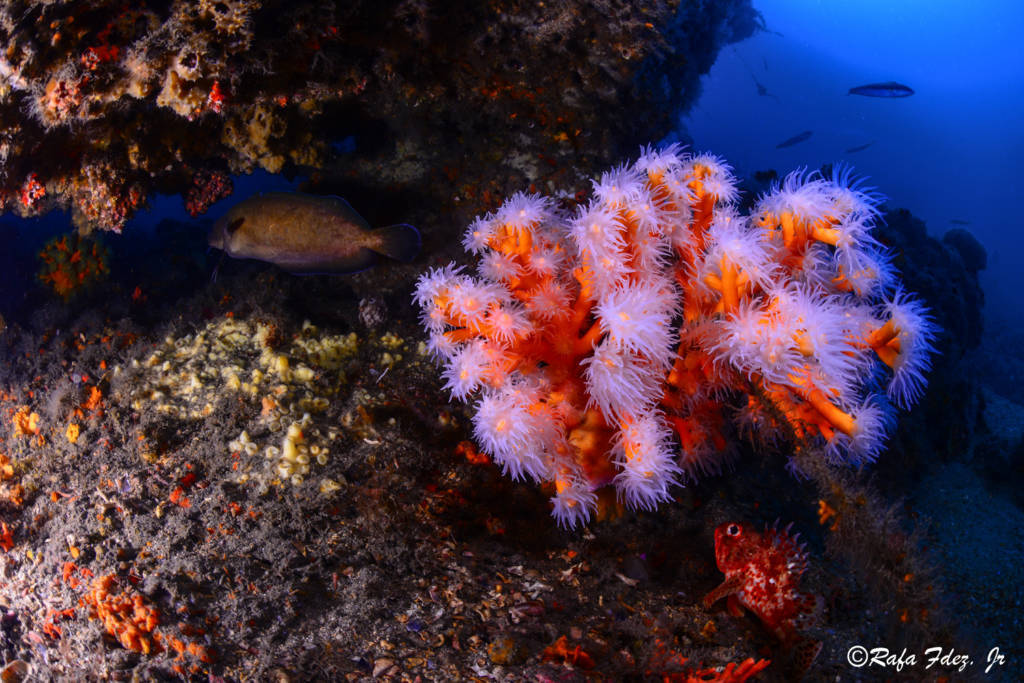 coral-candelabro