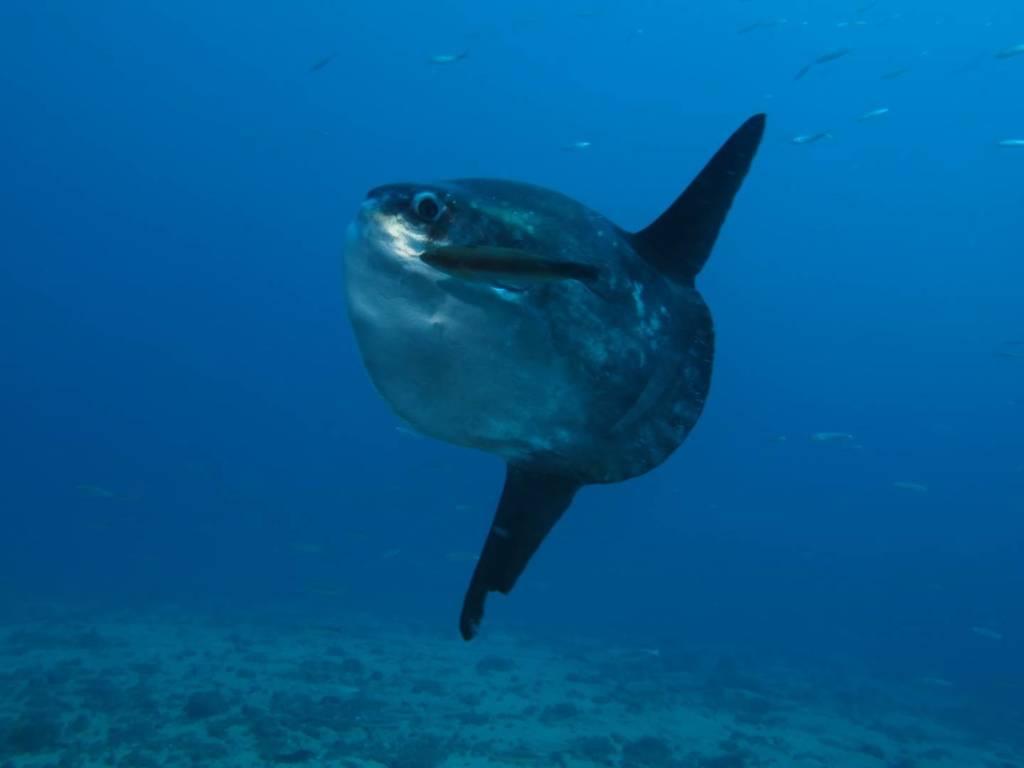 pez-luna-mola-mola-la-herradura