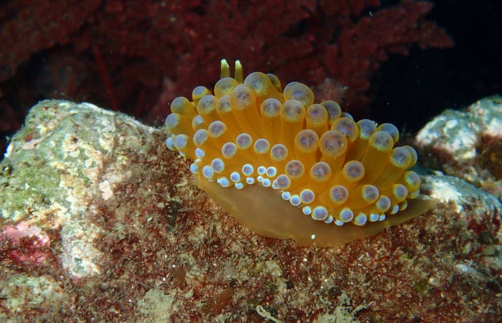 Nudibranquios, los mejor vestidos del fondo del mar