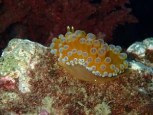 janolus-cristatus-nudibranquios-la-herradura