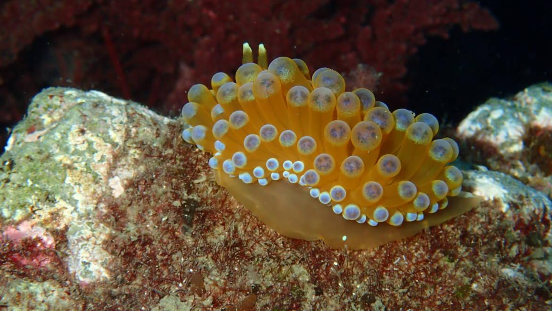 Nudibranquios. Los mejor vestidos del fondo del mar.
