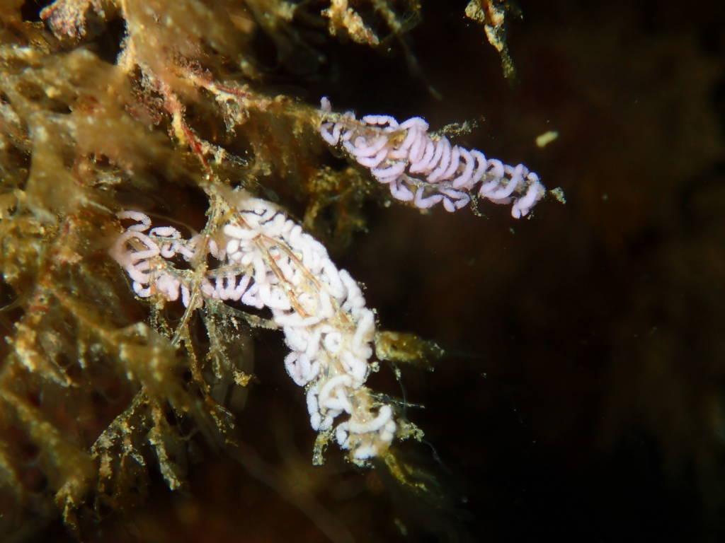 Puesta-nudibranquios-la-herradura