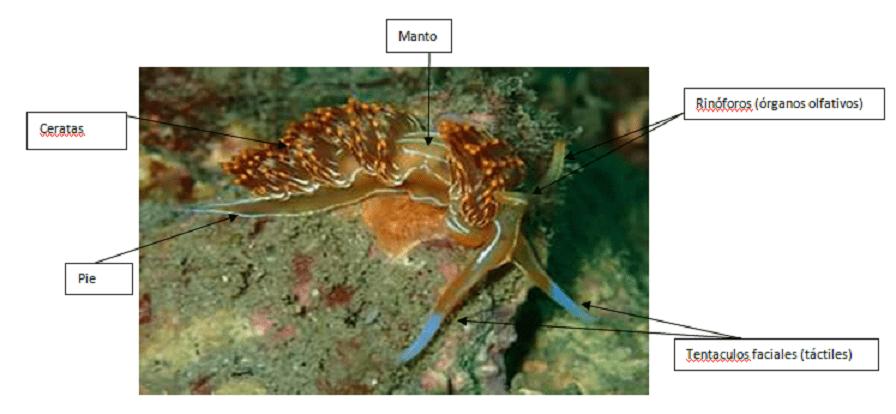 anatomia-nudibranquios