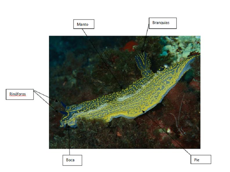 anatomia-babosas-marinas