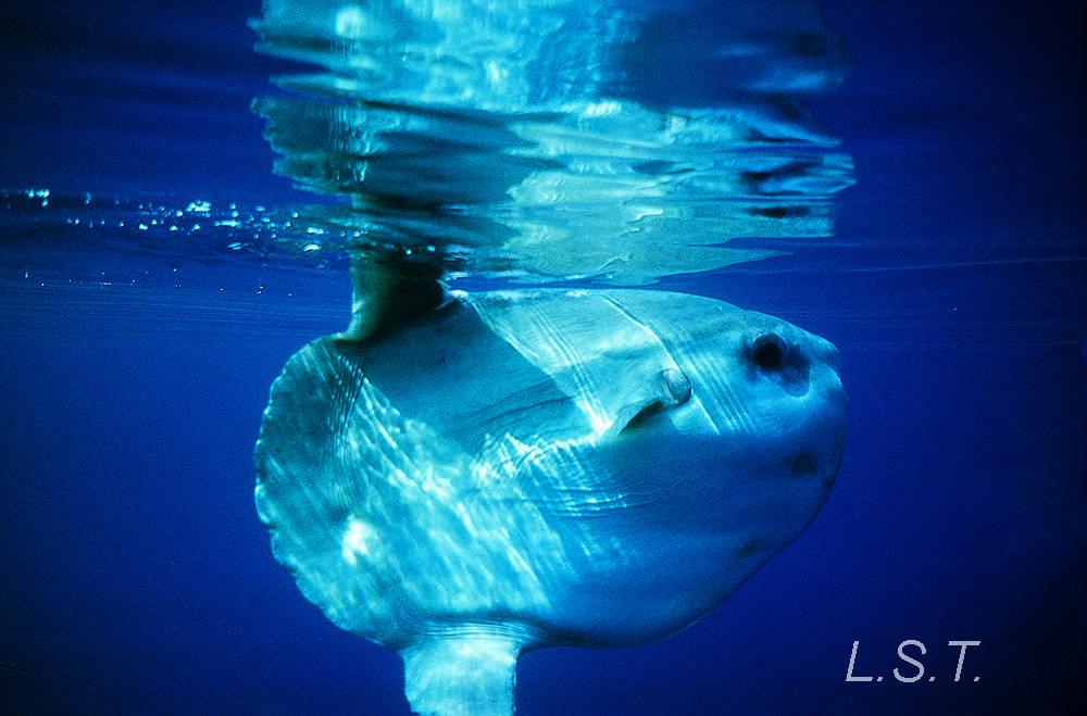 Pez Luna o Mola Mola
