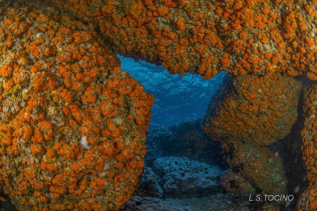Astroides-calycularis-inmersión